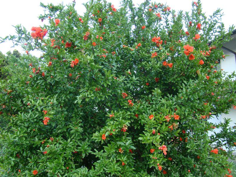 Pom Tree Bloom